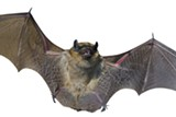 PHOTOS.COM - Bats are under siege nationwide.