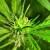 Taking Another Hit of Marijuana