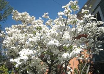 In Rockridge, a Rarefied Crime: Flower Poaching