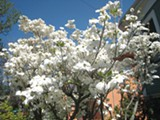 A ROCKRIDGE LIFE - Dogwood blooms are a particular target for poachers.