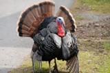 STEVEVOUGHT/FLICKR (CC) - Don't shoot the turkeys.