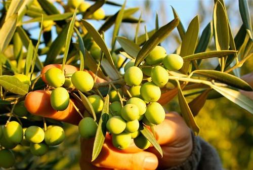 amphora_olive_oil.jpg