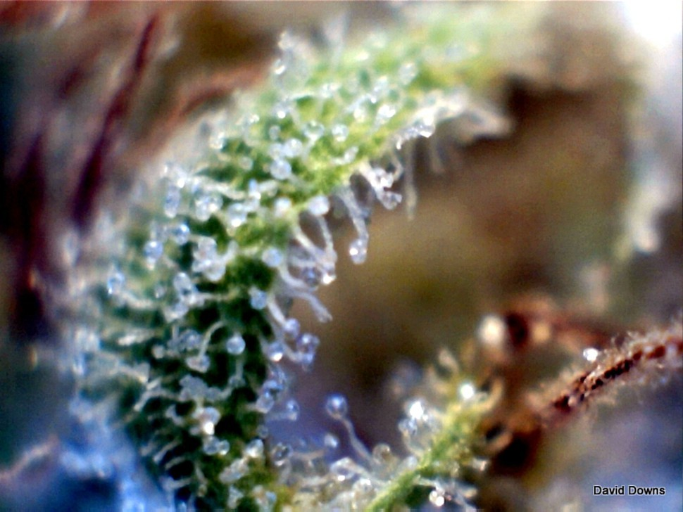 External glands called trichomes manufacture the active ingrediants in cannabis: cannabinoids