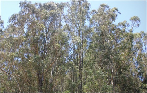 Eucalyptus. - FILE PHOTO / KATHLEEN RICHARDS