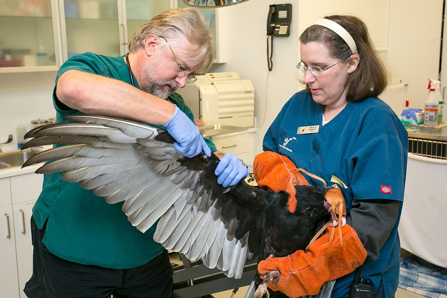 Guthrum Purdin, director of veterinary services for Lindsay Wildlife Museum, examines an injured turkey vulture with the help of Marcia Metzler. - BERT JOHNSON