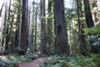 Humboldt Redwoods State Park is home to the largest remaining contiguous stand of old-growth redwoods.