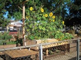 MEGAN GEUSS - Kijiji Grows' garden box is thriving compared to others at the Mosswood community garden.