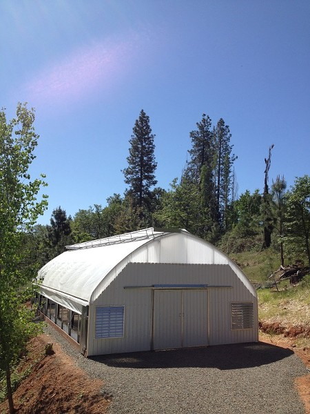 Greenhouse-grown medical marijuana is coming to harvest now, instead of in October, due to light deprivation techniques. - THE GOLDEN TARP