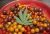 Like farmers' market tomatoes, organically grown weed smells, tastes, and feels better.