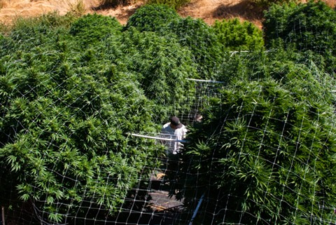 Eastern Washington's first season of legal outdoor weed could reach heights of fourteen-feet-tall. Above, a Northern California outdoor grow. - COURTESY OF KYM KEMP