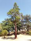 Muir's redwood.