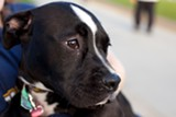 BERT JOHNSON - Oakland Animal Services had planned to euthanize Buttons, but volunteers rescued her.