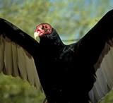vulture3_jpg-magnum.jpg