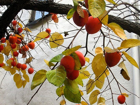 Ripe Hachiya persimmons on a tree