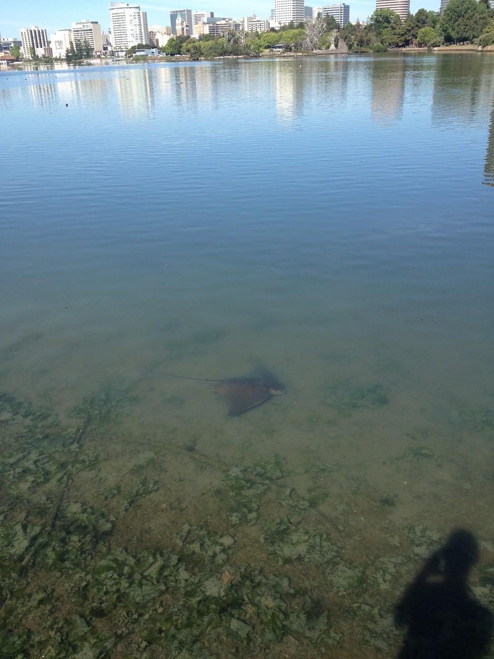 stingray_lake_merritt_2.jpg