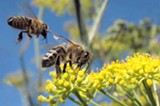 WOLFPIX/FLICKR (CC) - The state plans to use an insecticide that is fatal to honeybees.