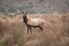Tule elk at Tomales Point.