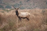 THATHS/FLICKR(CC) - Tule elk at Tomales Point.
