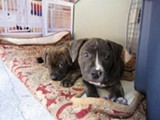 LINDA WONG - Two of Hana's pit bull puppies.
