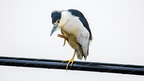 black_crowned_night_heron-3.jpg