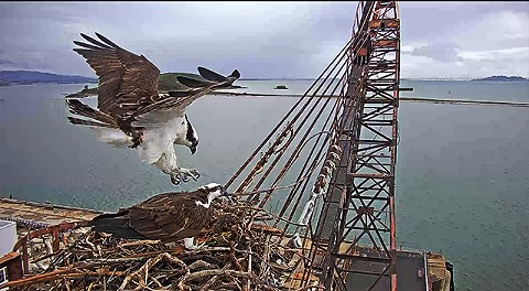 The live chat feature of the Golden Gate Audubon Society's video cams at SFBayOspreys.org has captivated a bird-loving audience. - PHOTO COURTESY GOLDEN GATE AUDUBON SOCIETY
