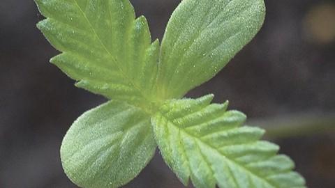 A Sativa seedling. - AVRIETTE-CC
