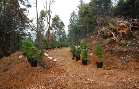 Regulatory fines are replacing failed prohibition in California's rural pot-growing epicenters. - CALIFORNIA STATE WATER BOARD