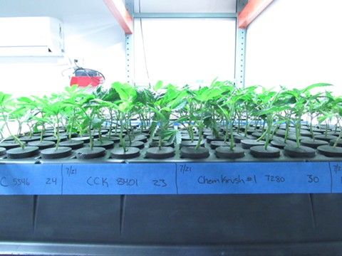 Oakland medical cannabis growers could obtain licenses for the first time this year. Above, young cannabis clones vegetate in a tray at a commercially licensed grow in Boulder, CO. - DAVID DOWNS
