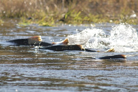 Environmentalists say the decision to favor agriculture over Chinook salmon was illegal.