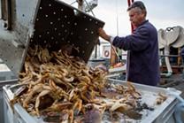 Dungeness crab. - BERT JOHNSON/FILE PHOTO.