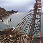 A Riveting Osprey Cam Has Hatched a Flourishing Human Community