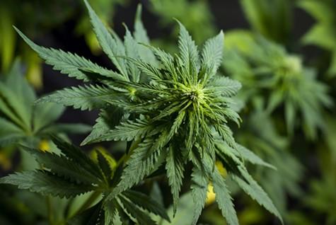 Lower Cannabis Taxes Will Be an Option on Oakland's November Ballot