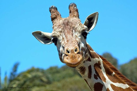 Benghazi the giraffe died Wednesday. He was both a painter and television star on the National Geographic Channel.