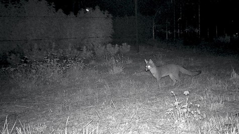 A curious fox noses around near a cannabis farm in the dead of night.
