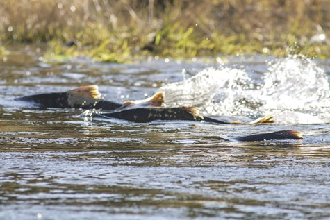 Chinook Salmon swimming upstream.