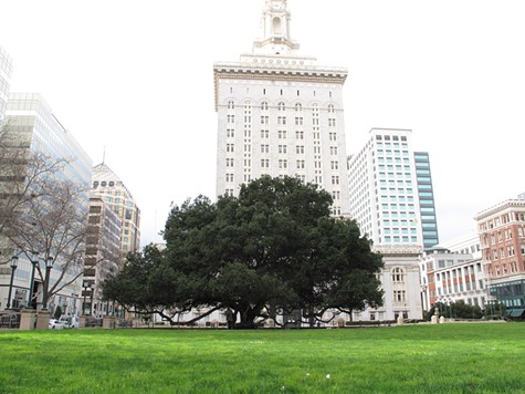 Oakland's Most Iconic Tree Is Named After A Socialist Firebrand: Jack London (Of Course)