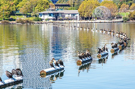 The ballpark threatens thousands of birds at Lake Merritt. - FILE PHOTO BY JOHN KIRKMIRE