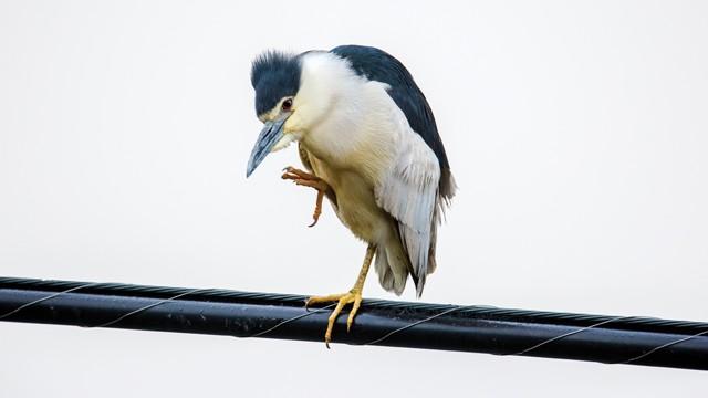 black_crowned_night_heron-3.jpg
