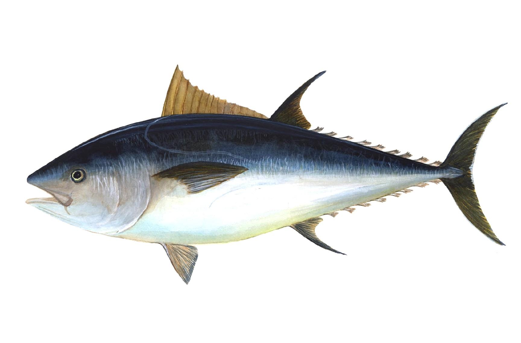 friday s briefing first friday canceled big bluefin tuna rebound