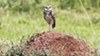 Burrowing owls have lost much of their Bay Area habitat due to CEQA's failures.