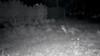 A curious fox noses around near a cannabis farm in the dead of night.