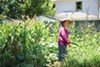 Mey Yan Saechao, one of the Mien gardeners.