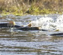 Trump Administration Plan Allows Delta Water Managers to Kill Off Winter-Run Chinook Salmon