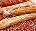 Community Grains Heirloom Corn Harvest At Fritz Durst's farm.
