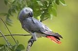 f992a962_gray_parrot.jpg