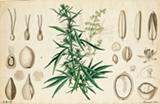 065b0c90_cannabis.png