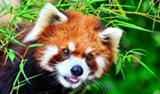red-panda-2-720x422.jpg