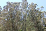 KATHLEEN RICHARDS/FILE PHOTO - Eucalyptus in Claremont Canyon.