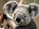 koala_jpg-magnum.jpg