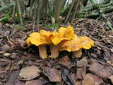 ALAN ROCKEFELLER - A cluster of Cantharellus californicus, a California native chanterelle mushroom, fruits in Oakland's Joaquin Miller Park.